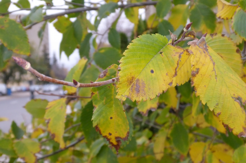 City of Regina begins fall leaf clean up