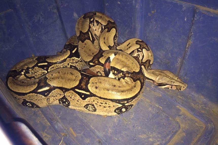 Snake on the plains: boa constrictor found roaming Saskatoon