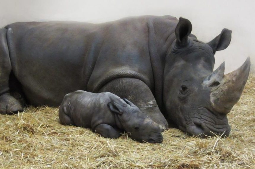 First white rhinoceros born at Toronto Zoo in 27 years has 'very hairy ears'