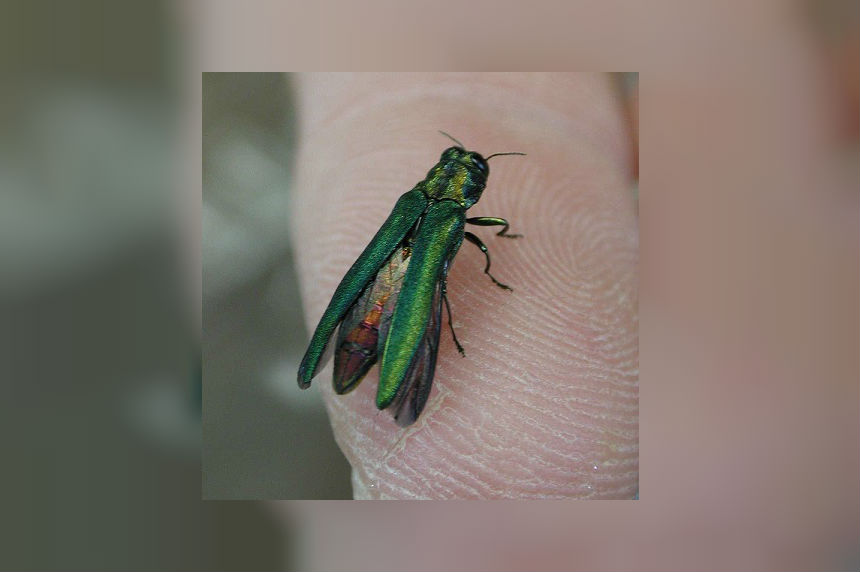 100,000 ash trees in Saskatoon at risk by invasive beetle