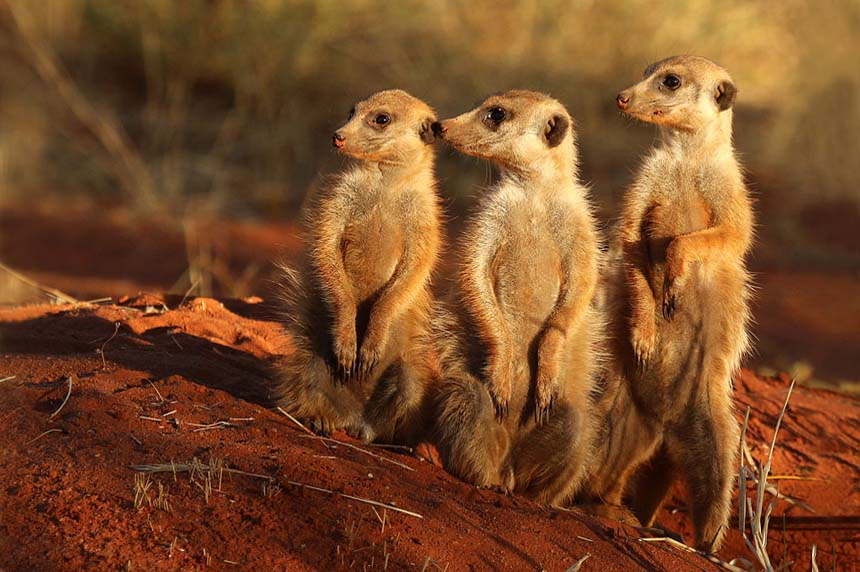 Mobs of meerkats making move to Saskatoon