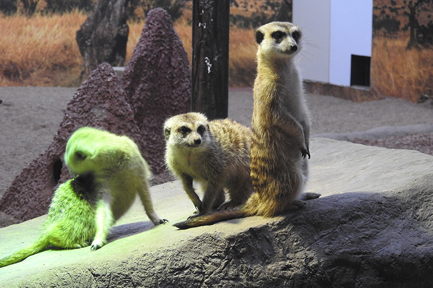 Meerkat exhibit opens this weekend at Saskatoon zoo