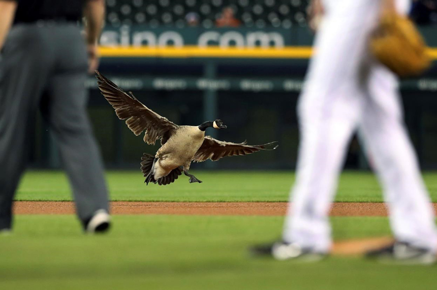 Attempt to remove goose from baseball stadium ends in chaos