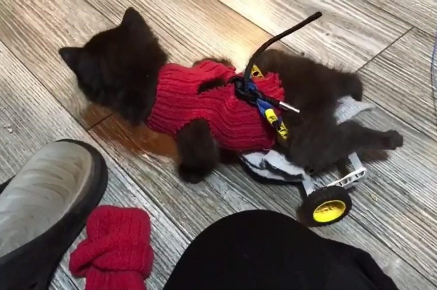 Stray, disabled kitten uses Lego wheelchair to scoot around with littermates