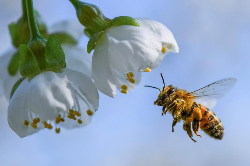 Pesticides do harm to bees and should be phased out, Health Canada says