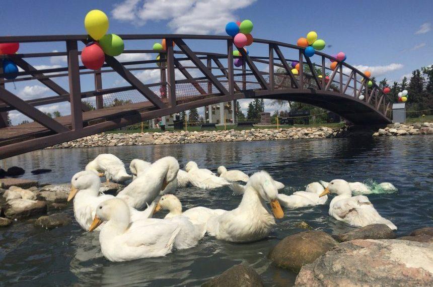 Saskatoon students raise ducks for memorial gardens
