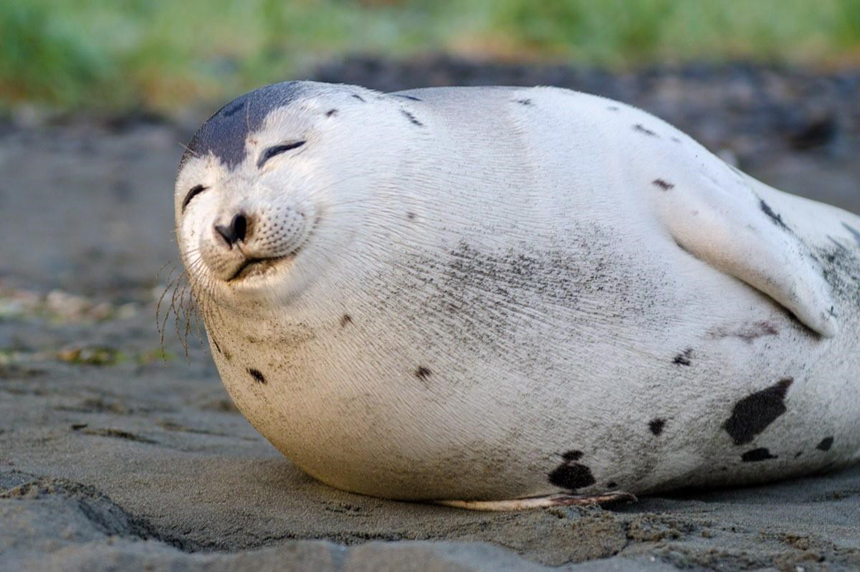 Photogenic 'smiling' seal spotted on N.L beach dies, prompts DFO warning
