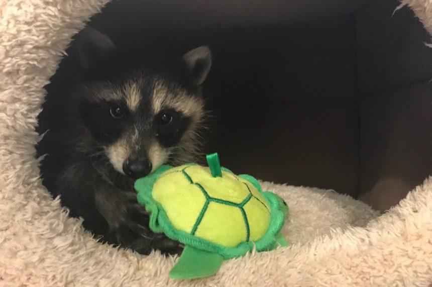 Bandit Ranch: Saskatoon woman rehabs raccoons for the wild
