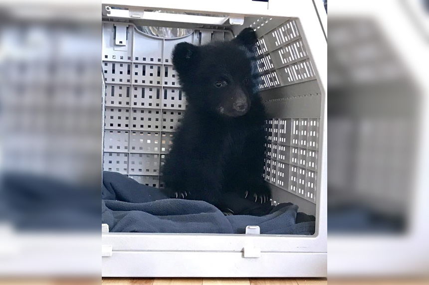 Bear cub, rescued near mother's body, dies unexpectedly in wildlife refuge