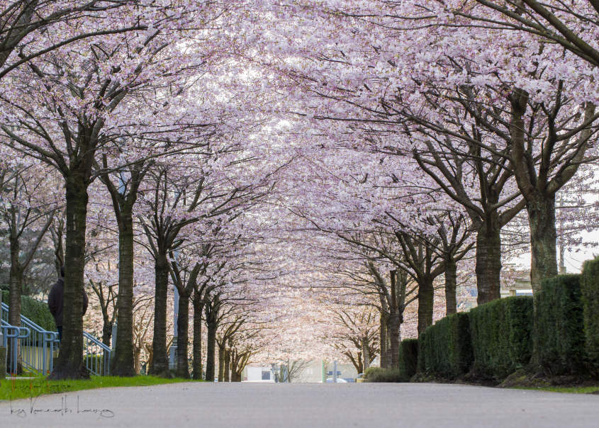 How to Scout the Cherry Blossom Trees in Style
