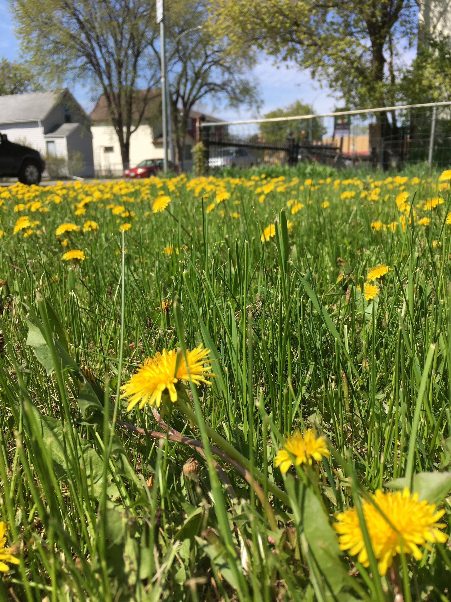 Manitoba's Summer Flower