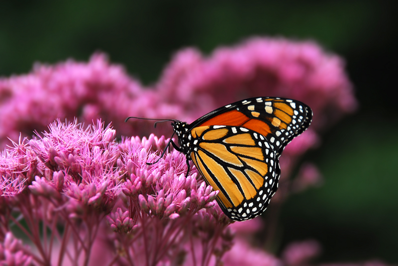 Come see The World's most Beautiful Butterfly!