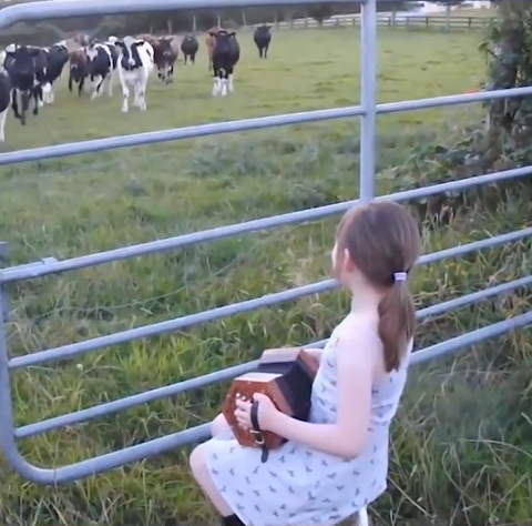 These Cows LOVE Accordion Music