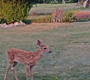Stop Feeding Deer In Lumby