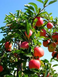 New Funding For Tree Fruit Growers