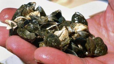 Okanagan Basin Water Board Flexes Muscle on Mussel Issue