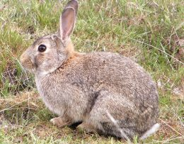 Disease Killing Rabbits