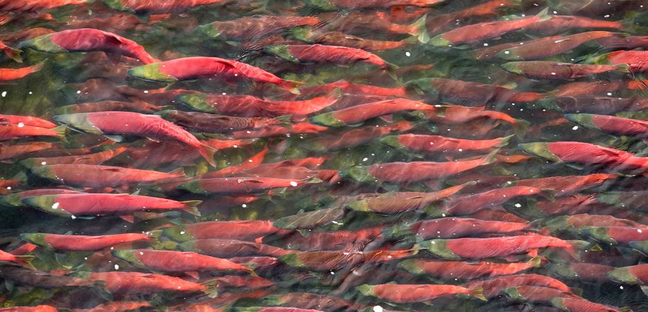 Panel Appointed To Help Save Wild Salmon In BC