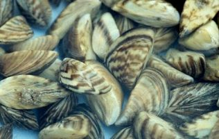 Expand Inspections to Stop Mussel Invasion