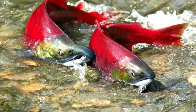 Sockeye Salmon Spawn On