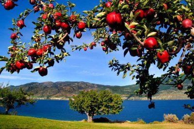 Okanagan Orchards: How Do You Like Them Apples