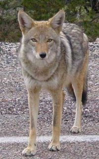 City Hunts For Solution to Aggressive Coyotes