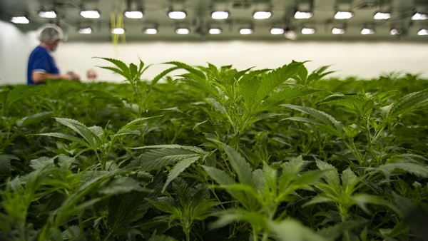 Careers In Cannabis Industry Are 'Limitless'