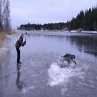 Moose Saved