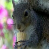 Ice cream loving squirrel