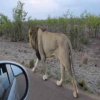 Don't Bug a Lion