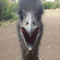 Just a Man walking his Emu