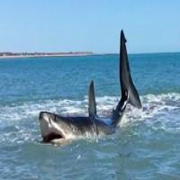 15 ft white shark in 3 ft of water