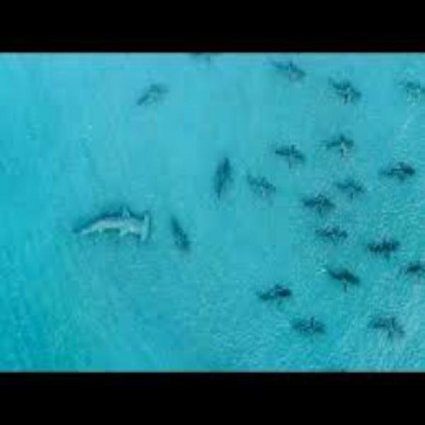 Giant Hammerhead Sharks Hunting Blacktip Sharks