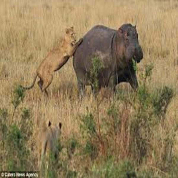 Hippo Attacks