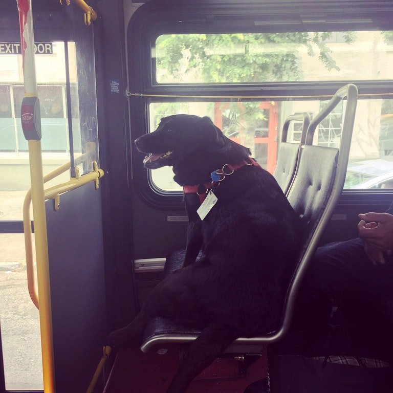 Meet the dog who rides the bus to the dog park...by herself!