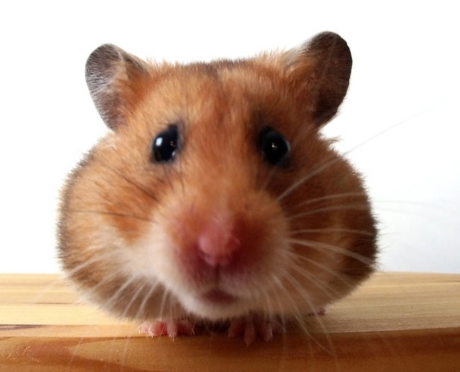 Cute and Funny Hamster Video. ( did I get your attention? )