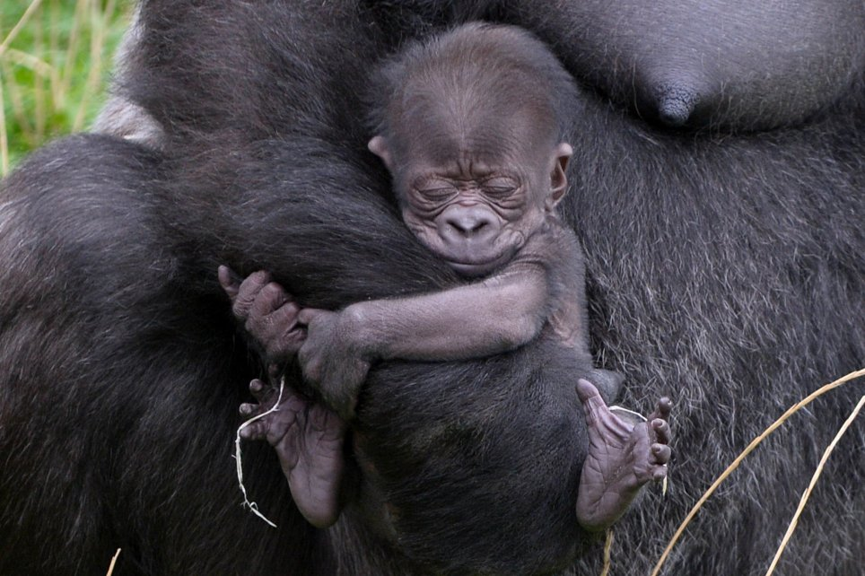 Mommy gorilla kissing her new baby.....is the sweetest thing EVER!!!