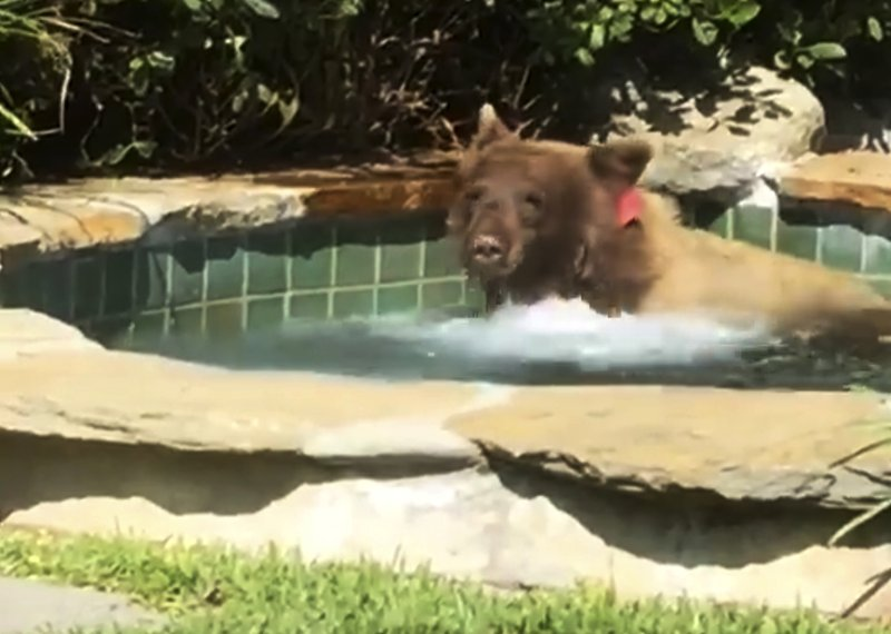 Bear enjoys unheated spa and margarita on a hot California day.