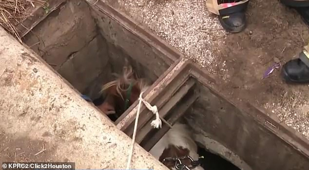 WATCH: Houston emergency services rescue a miniature pony from a storm drain.