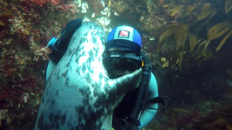 WATCH: Seal takes a shine to diver...proves that seals are just sea dogs.