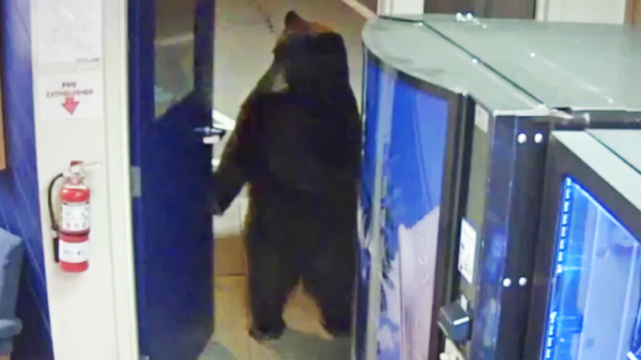WATCH: Bear surrenders at police station...