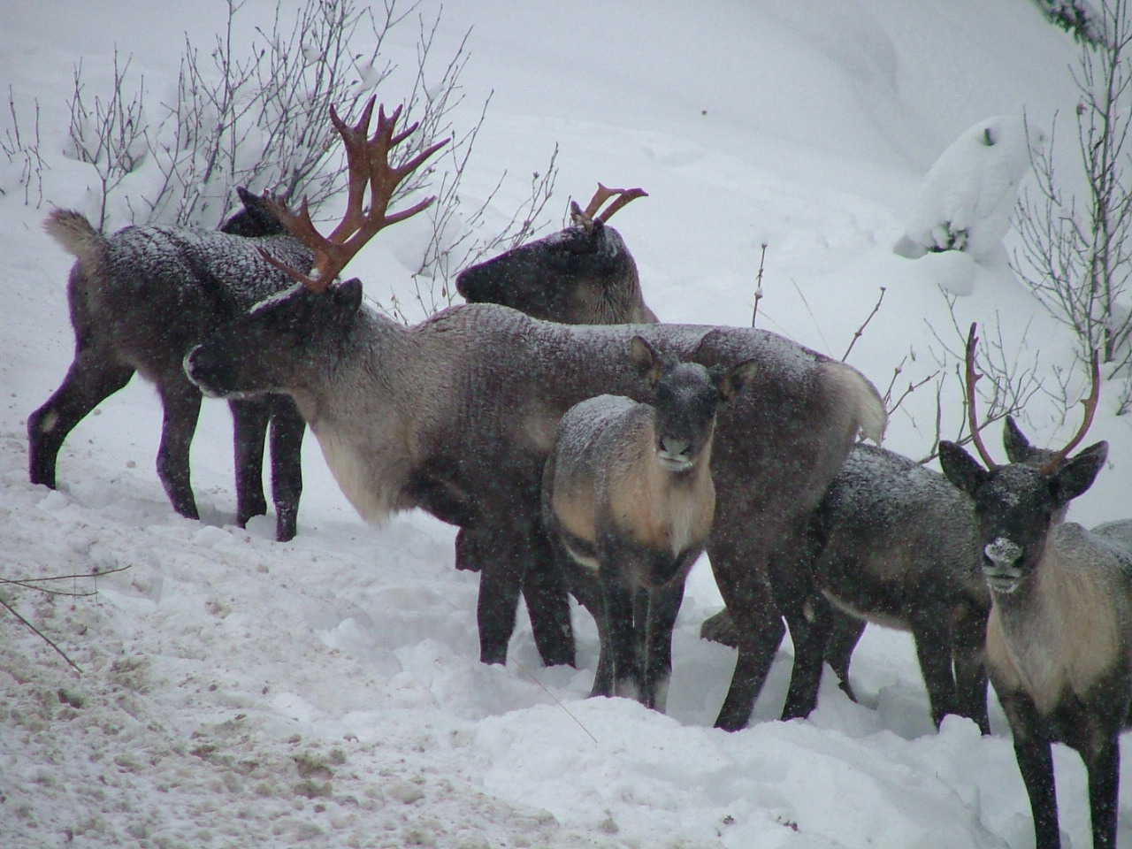 Local environmental group seeks limitations on disruptions to caribou habitat