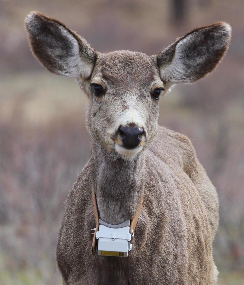 Kimberley's Mayor says deer translocation top priority at UBCM convention