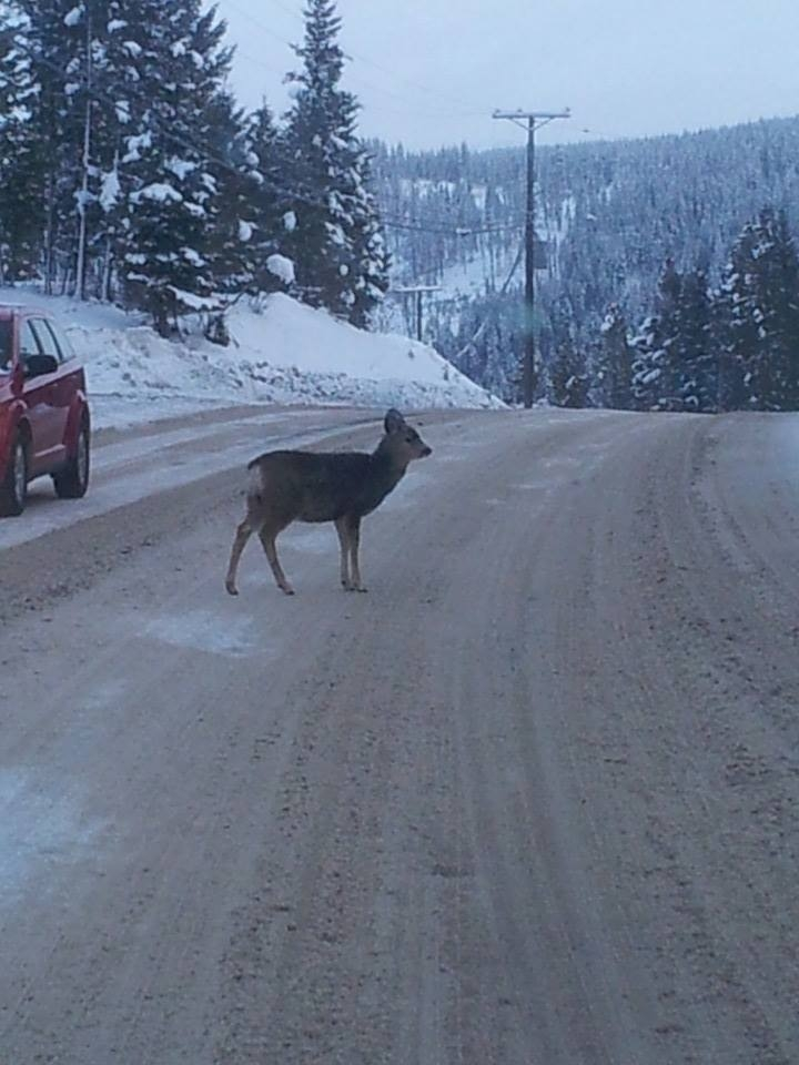 Elkford will not conduct a deer cull in 2017