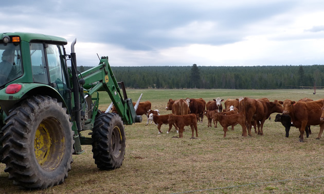 Cattle association warns more cows could die from poisonous plants in East Kootenay