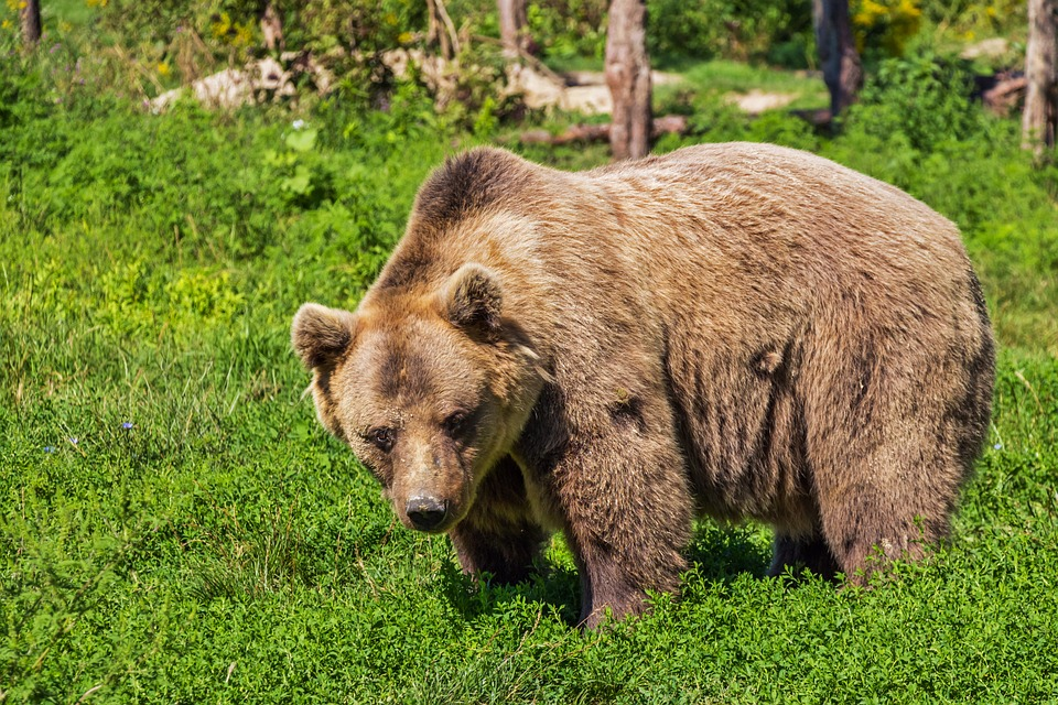 Grizzly and cubs bluff charge mountain biker in Fernie