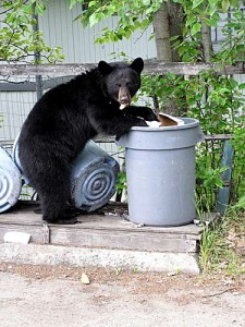 Columbia Valley RCMP busy with brazen bears