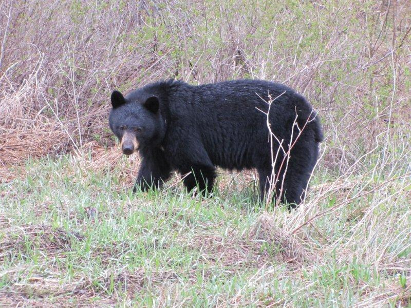 Black bear spotted in Marysville