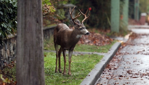 Cranbrook approves deer cull
