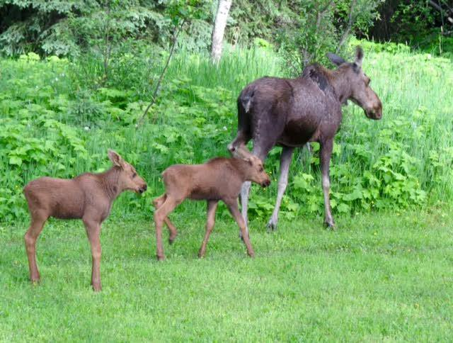 Elk Valley COs searching for orphaned moose calves